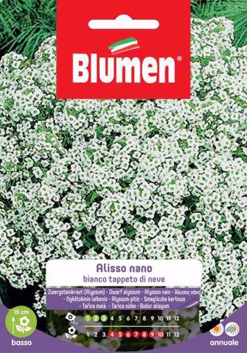 Picture of Semi di Alisso Nano bianco tappeto di neve Blumen esterno vaso giardino roccioso