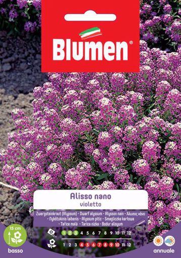 Immagine di Semi di Alisso Violetto nano Blumen esterno vaso giardino roccioso pianta