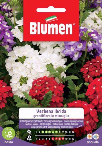 Picture of Confezione semi Verbena Ibrida Grandiflora in mix Blumen aiuole giardino vaso